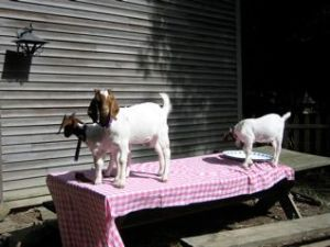 Goats eating dinner